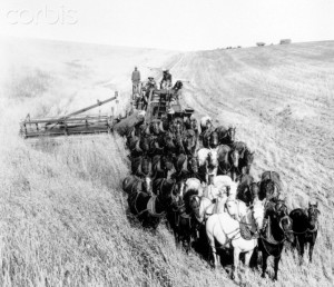 Large Team of Horses Pulling Thresher